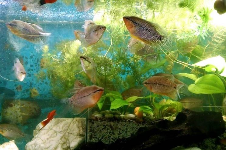 peces gourami. 0