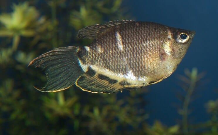 Tipos de peces gourami