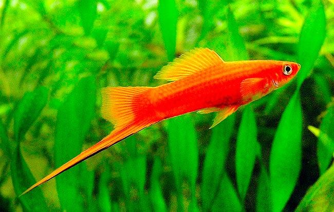 pez espada. 0