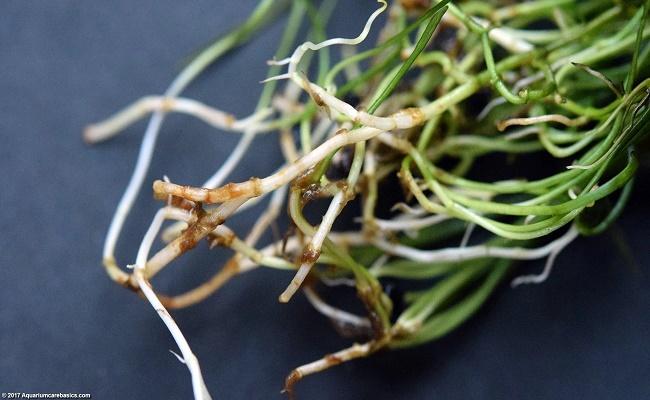 planta micro espada