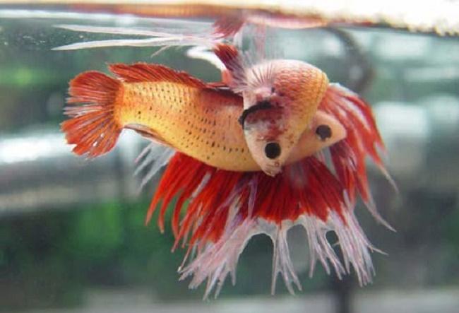 Cómo se aparean los peces. 0