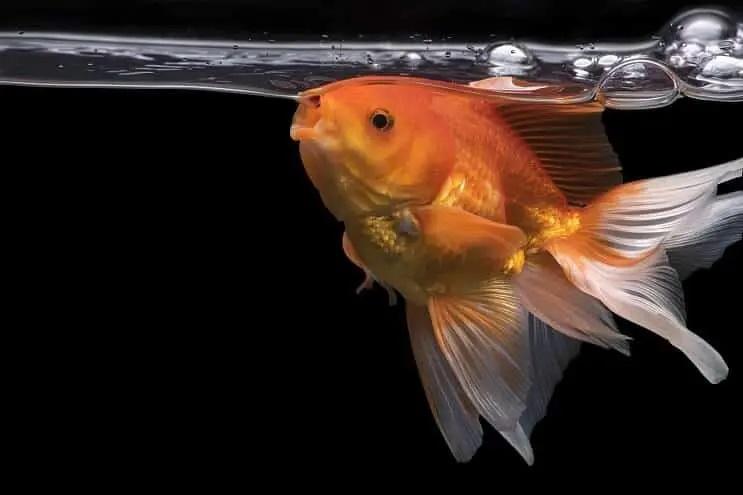 Pueden los peces ahogarse