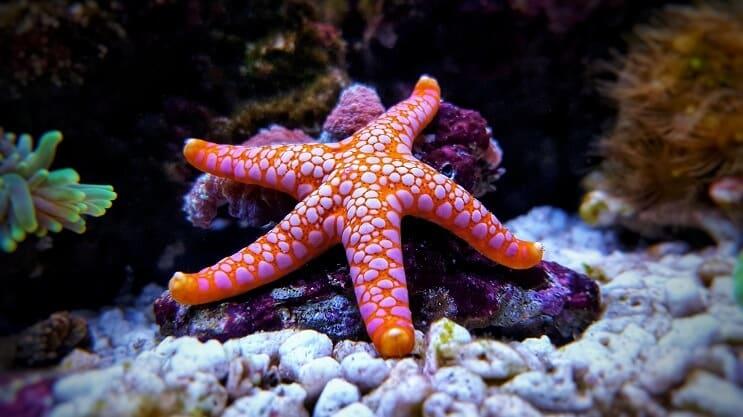 que comen las estrellas de mar