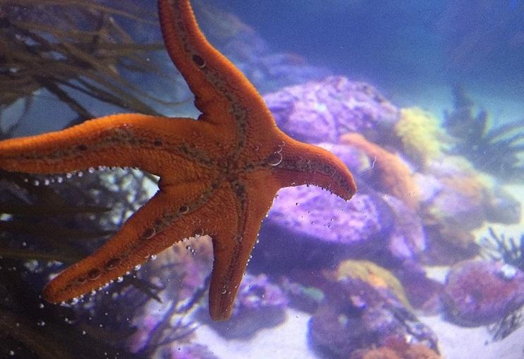 Qué comen las estrellas de mar. 0