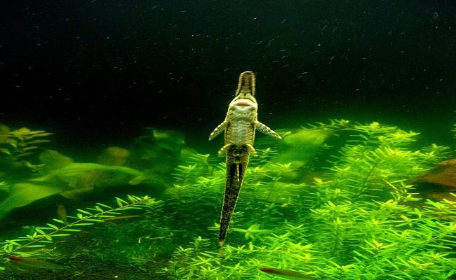 comedores de algas