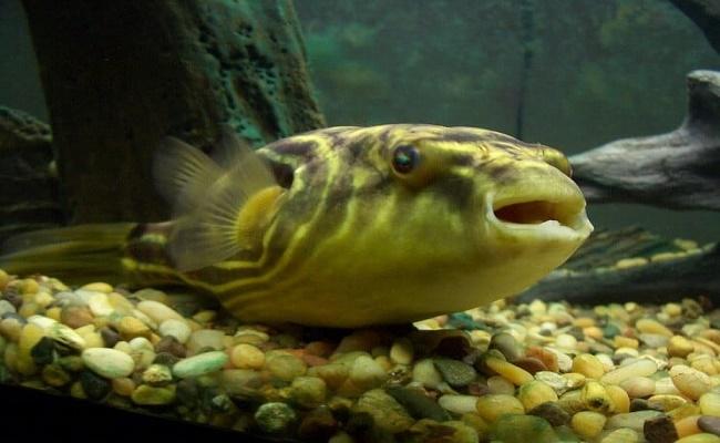 cuidado del pez globo