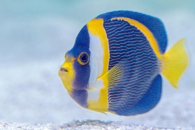 pez-mariposa 0