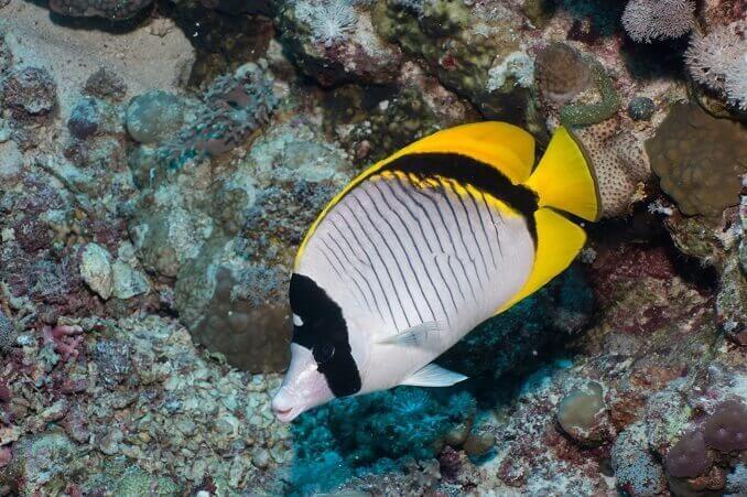 pez mariposa